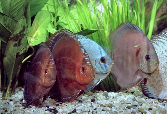 symphysodon_aequifasciatus1