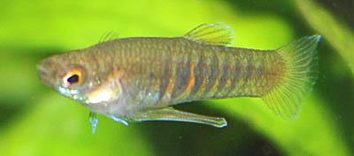 Neoheterandria elegans