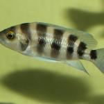 Neolamprologus sexfasciatus