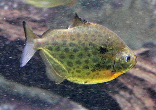 Metynnis lippincottianus