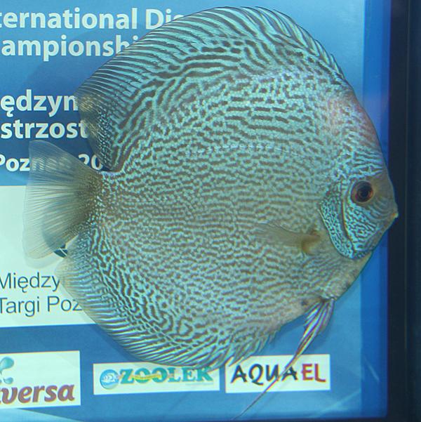 96 - Injaaz Discus (Qatar) - QAT