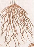 korzewiazkowy
