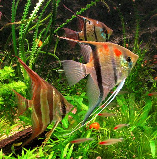 Akwarium 330 litr w dwudziesty drugi miesi c 2009 for Peru altum skalar