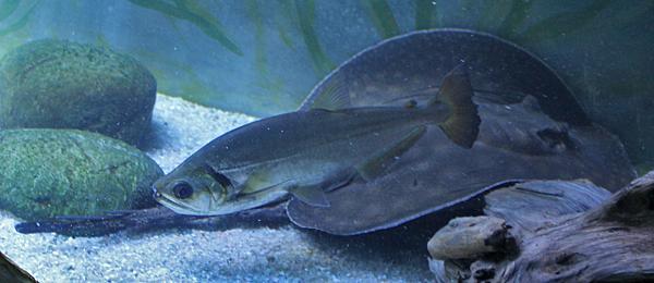 Hydrolycus tatauaia