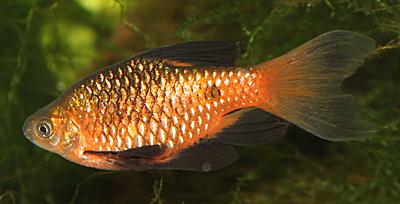 Pethia conchonius