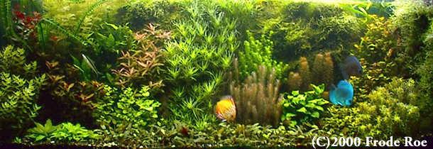 Podwodny Ogród W Akwarium Z Dyskowcami Akwa Mania