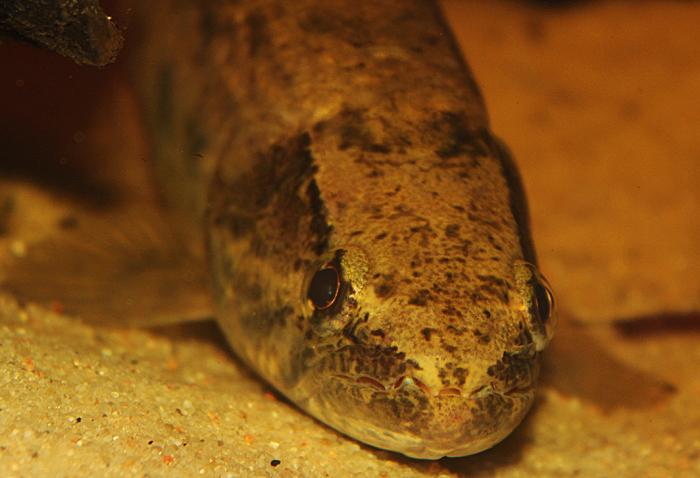Hoplias australis