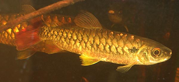 Chalceus erythrurus