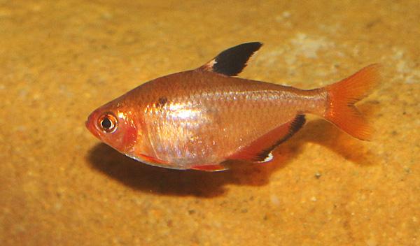 Hyphessobrycon eques