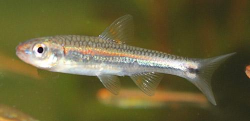 Notropis chrosomus