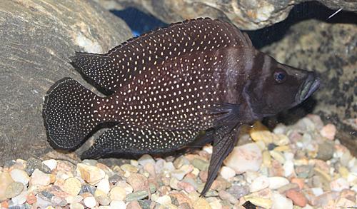 Altolamprologus calvus