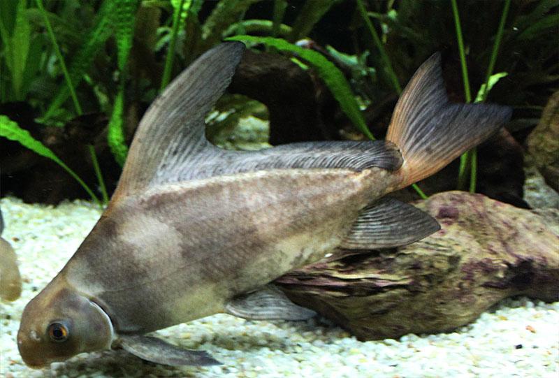 Myxocyprinus asiaticus