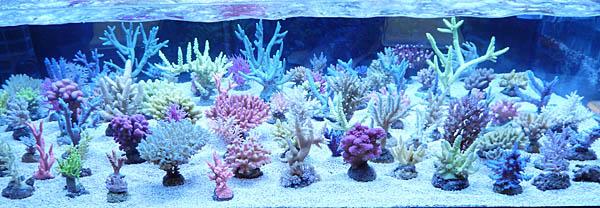 koralen1