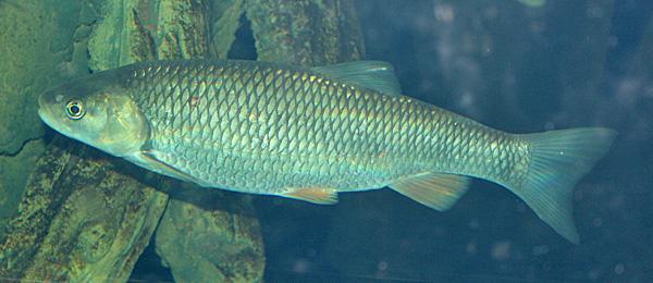 Squalius cephalus
