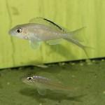 Xenotilapia spiloptera