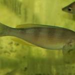Cyprichromis zonatus
