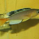 Cyprichromis sp. 'Leptosoma Jumbo'