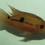 Aequidens tetramerus