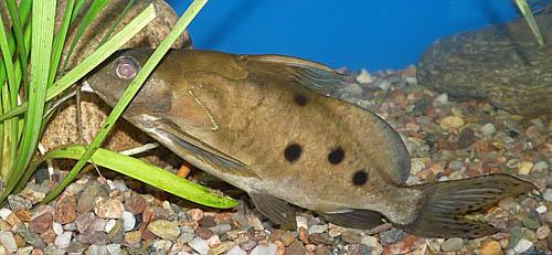 Synodontis ocellifer