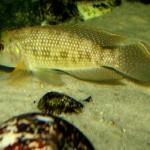 Lamprologus callipterus