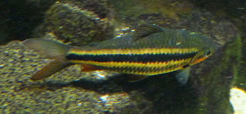 Leporinus arcus