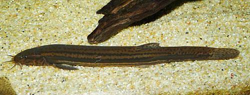 Misgurnus fossilis