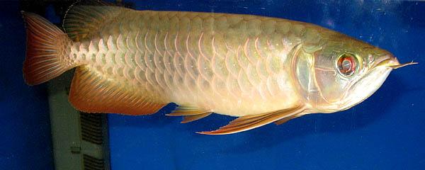 redtailgold