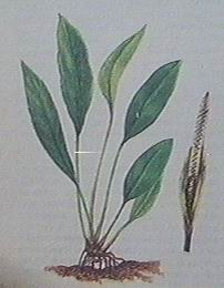 an heterophylla