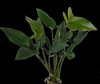 anhastifolia2