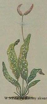 apbernierianus