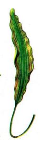apelongatus elongatus