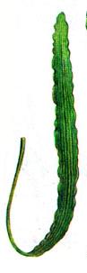 apelongatus longifolius