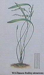 aphexapetalus