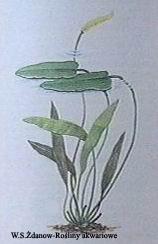 aplakhonensis