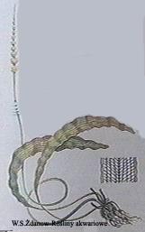 aploriae