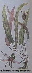 barclaya