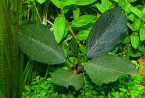 bucephalandra2