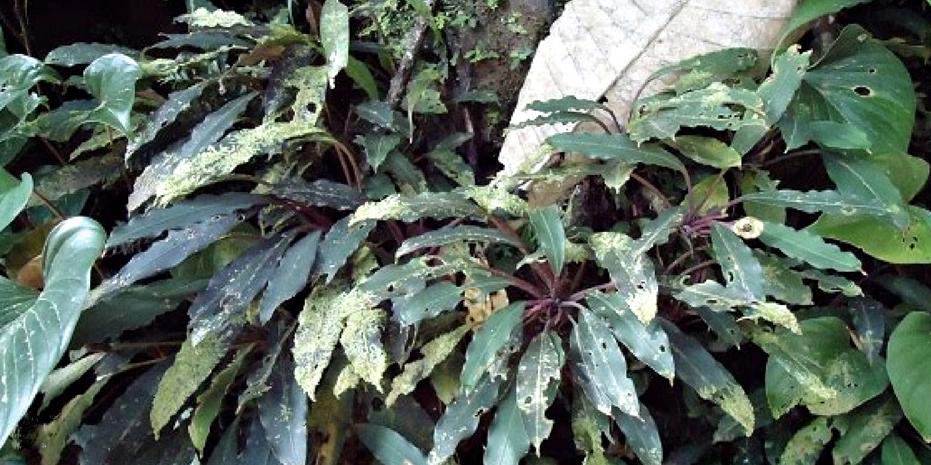 Bucephalandra chimaera