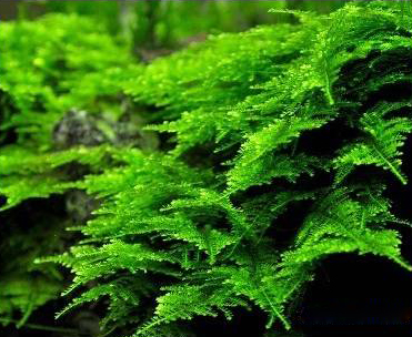 Vesicularia_montagnei1