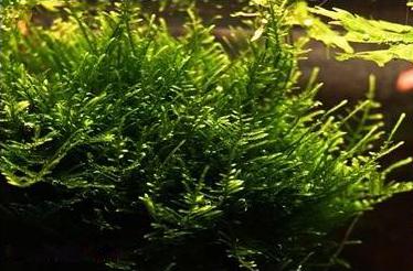 Vesicularia_reticulata