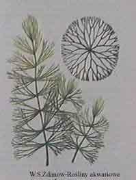ceratophyllum s