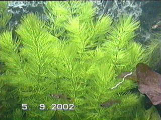 ceratophyllumd