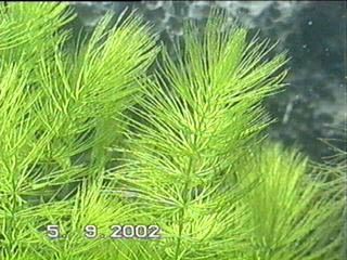 ceratophyllumd7