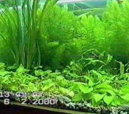 ceratophyllumd8