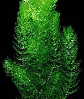ceratophyllums