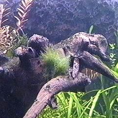 cladophora4