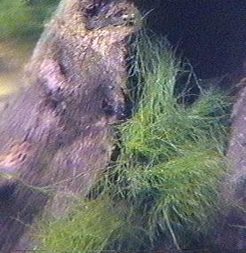 cladophora5