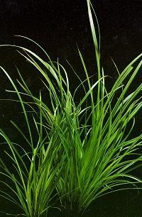 cyperush1
