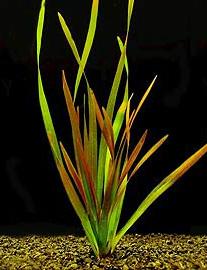 Картинки по запросу Vallisneria neotropicalis