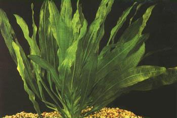 eafricanus
